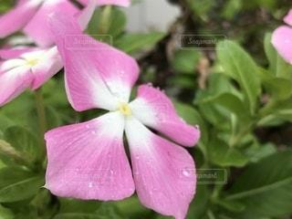 花,雨,屋外,ピンク,水滴,草木