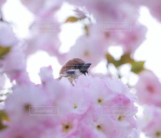 桜とスズメの写真・画像素材[1416457]