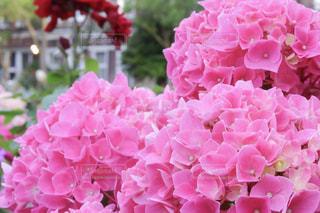 花,屋外,ピンク,あじさい,紫陽花,可愛い,flower,長崎,桃色,アジサイ
