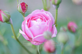 花,ピンク,バラ,薔薇,可愛い,長崎,桃色,ばら