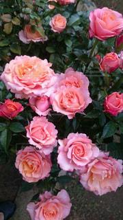 近くの花のアップの写真・画像素材[1448673]
