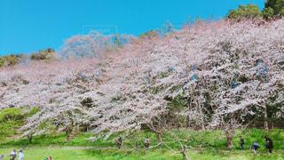 公園の桜の写真・画像素材[1926579]