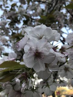 花,春,樹木,桃色,景観