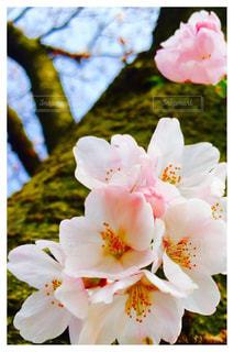 桜,木,屋外,ピンク,樹木,ピンク色,桃色,pink