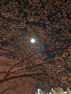 桜,夜景,ピンク,月,千波湖