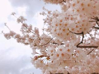空,公園,春,桜,ピンク,散歩,花見,お花見,新潟