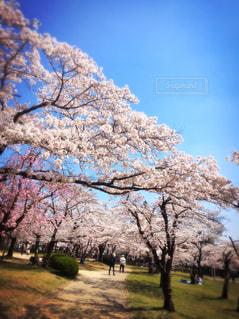 春,桜,ピンク,青空,散歩,花見,お花見,埼玉,ぽかぽか