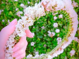 シロツメクサの花冠の写真・画像素材[1886298]