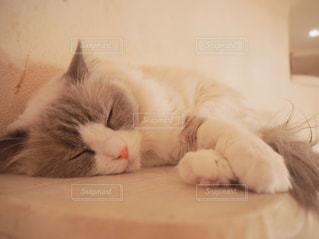 猫,動物,屋内,白,かわいい,ペット,寝顔,人物,睡眠,ネコ,ネコ科の動物