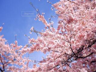 風景,空,花,春,桜,屋外,ピンク,植物,晴れ,鮮やか,満開,樹木,草木,桜の花,さくら,ブロッサム