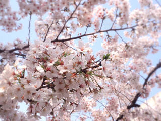 空,花,春,桜,屋外,ピンク,白,晴れ,枝,散歩,花見,樹木,お花見,草木,桜の花,4月,さくら,ブロッサム