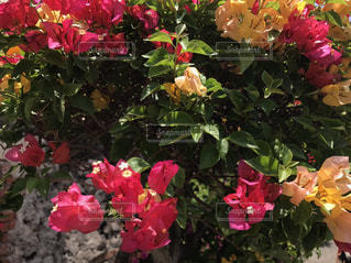 花,ピンク,樹木,ブーゲンビリア
