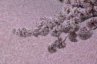 桜,京都,ピンク,花びら,絨毯,じゅうたん