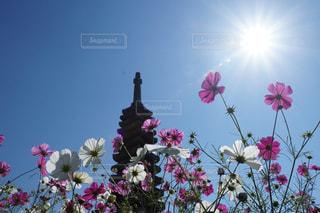 自然,風景,花,花畑,ピンク,白,コスモス,奈良,秋桜,コスモス畑,般若寺