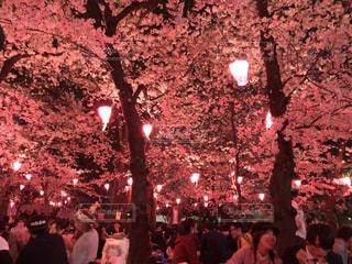 春,ピンク,花見,お花見,鶴舞