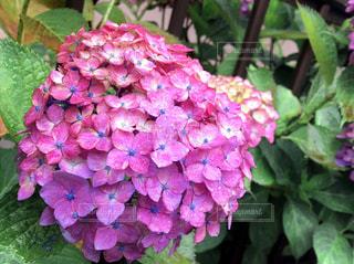 花,雨,植物,あじさい,水,水滴,梅雨,天気,雨の日