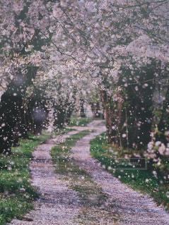 春,桜,ピンク,花びら,道