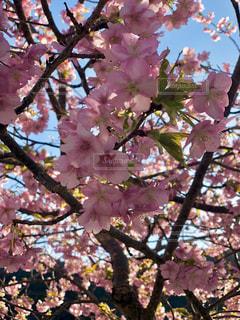 河津桜,ピンクだらけ