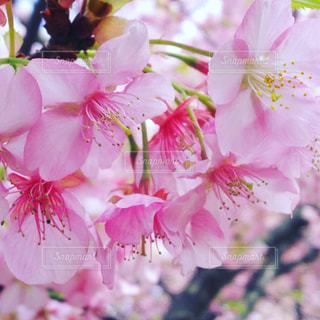 自然,春,ピンク,サクラ,満開,桃色,草木