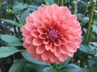 花,ピンク,美しい,ダリア