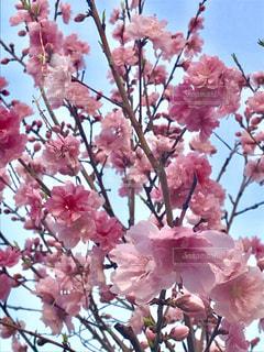 花,ピンク,景色,鮮やか,桃色,草木,薄ピンク,インスタ映え