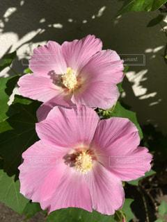 花,桃色,草木,日中,薄ピンク,インスタ映え