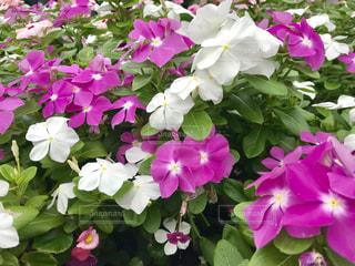花,花畑,屋外,ピンク