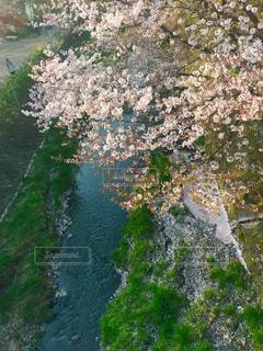 桜,ピンク,川,桃色,インスタ映え