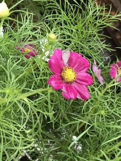 花,屋外,ピンク,桃色,ちょうちょ,草木,雨露