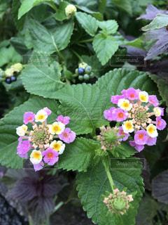 花,屋外,ピンク,桃色,草木,雨露