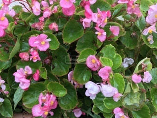 花,屋外,ピンク,景色,桃色,草木,複数