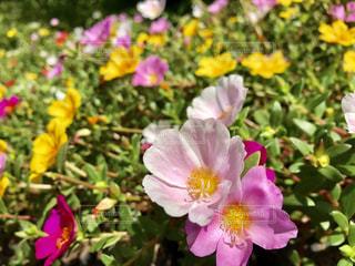花,ピンク,綺麗,色とりどり,癒し,一面,桃色,インスタ映え