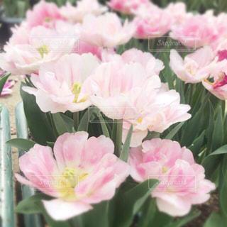 花,ピンク,かわいい,チューリップ