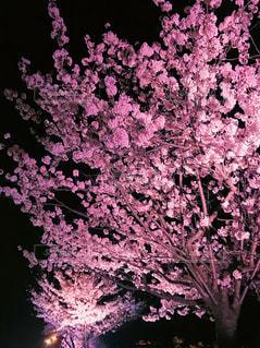 桜,木,ピンク,夜桜,背景,ライトアップ,桃色