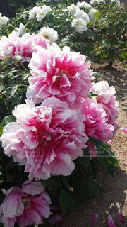 花,ピンク,フラワー,散歩道,pink