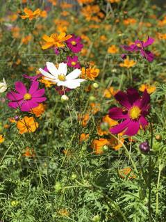 花,秋,コスモス,鮮やか