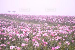 絶景,ピンク,山,草,日本,一眼レフ,インスタ映え