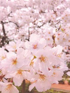 花,春,桜,ピンク,かわいい,綺麗,花見,デート,素敵,桃色,pink