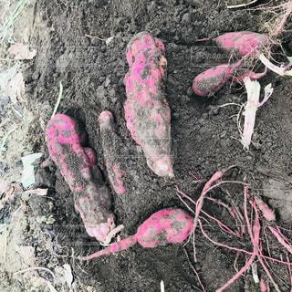 屋外,ピンク,土,畑,芋,さつまいも,pink,芋ほり,藤野園芸ランド
