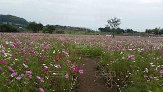 ピンク,かわいい,コスモス,秋桜,コスモス畑