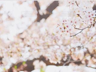 花,桜,ピンク,pink,さくら