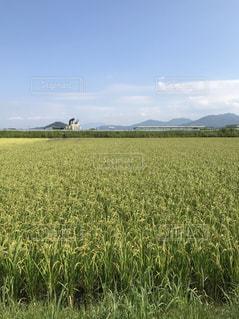 風景,秋,青空,青,稲穂,稲,米,秋空,稲刈り,黄金色