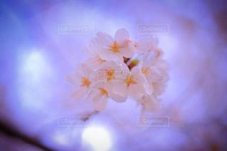 空,桜,屋外,京都,ピンク,景色,幸せ,明るい,桃色