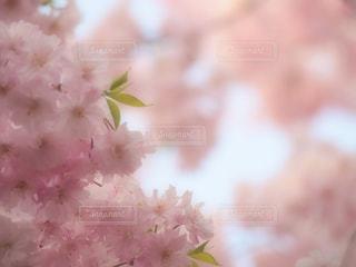 桜,ピンク,ピンク色,桃色,pink,愛知県