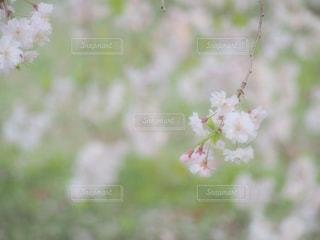 桜,ピンク,しだれ桜,ピンク色,桃色,pink,愛知県