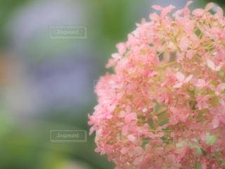 ピンク,あじさい,紫陽花,ピンク色,pink,愛知県,ピンクアナベル