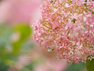 ピンク,あじさい,紫陽花,雫,ピンク色,しずく,pink,愛知県,ピンクアナベル