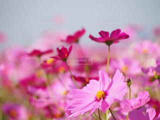 ピンク,コスモス,ピンク色,pink,岐阜県
