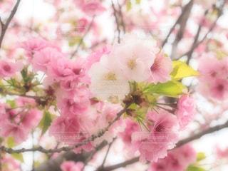 花,桜,ピンク,ピンク色,pink,愛知県,さくら,東山動植物園