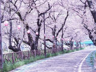 桜,ピンク,桜並木,ピンク色,pink,愛知県,さくら,さくらまつり